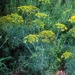 Dill oil Botanical name: Anethum graveolens
