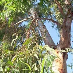 Eucalyptus oil (gully gum) Botanical name: Eucalyptus smithii