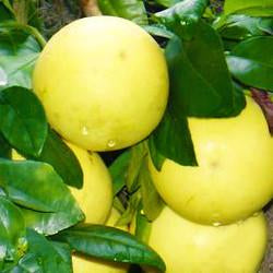 Grapefruit (white) Botanical name: Citrus paradisi