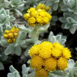 Helichrysum oil (cape gold) Botanical name: Helichrysum splendidum
