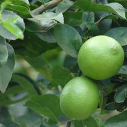 Lime oil Botanical name: Citrus aurantifolia