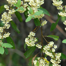 May chang Botanical name: Litsea Cubeba