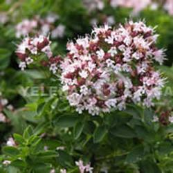 Thyme oil (red) Botanical name: Thymus vulgaris
