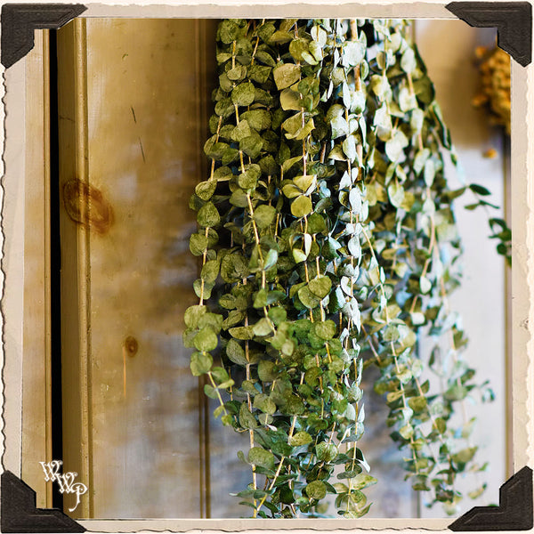EUCALYPTUS DRIED BOTANICAL. Decorative Herb For Healing, Protection & Aura Cleanse