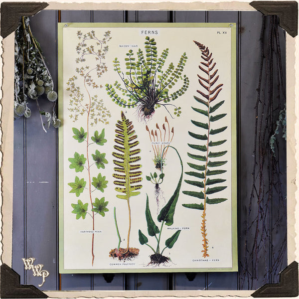 'FERNS' BOTANICAL POSTER. Vintage Style Print For Sacred Space Decor