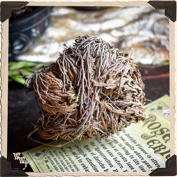ROSE OF JERICHO Resurrection Plant For Blessings, Joy & Abundance.
