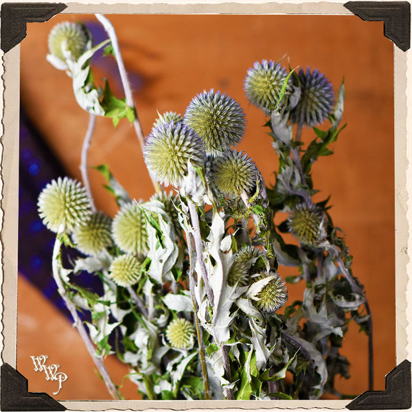 ECHINOPS GLOBE THISTLE DRIED BOTANICAL. Decorative Herb For Attracting Fae, Third Eye & Protection