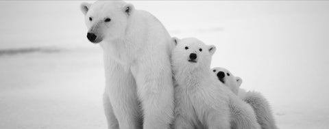 Polar Bear Mommy With Cubs