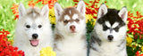 Dogs-Huskies in Flowers