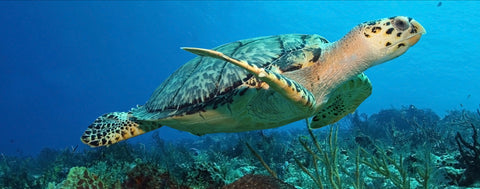 Sea Turtle Swimming in Coral Filled Ocean