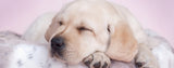 Dogs-Sleeping Labrador Puppy