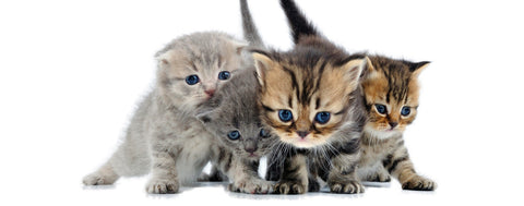 Cats-Four Cute Kittens