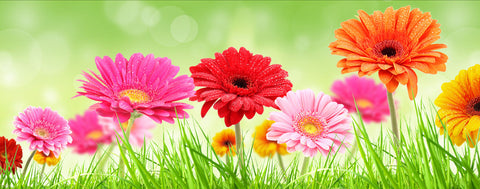 Flowers-Gerbera Daisies in the Spring