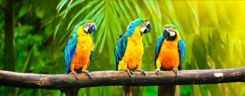 Birds-Blue and Yellow Macaws