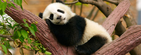Sleeping Baby Panda Bear
