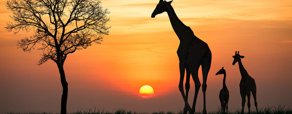 Safari-Giraffe and Sunset