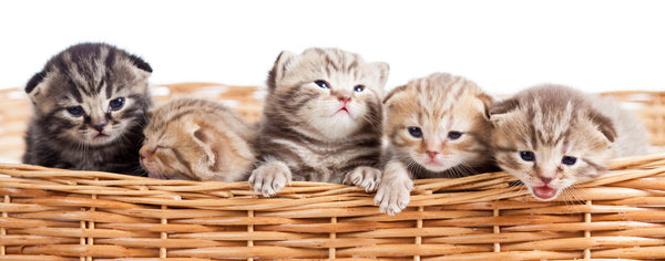 Cats-Five Cute Kittens in a Basket