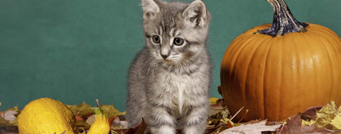 Fall Kitten with Pumpkin
