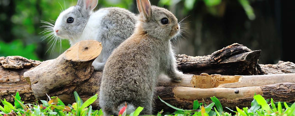 Rabbits-Cute Bunny Rabbits