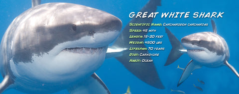 Ocean Animals-Great White Shark