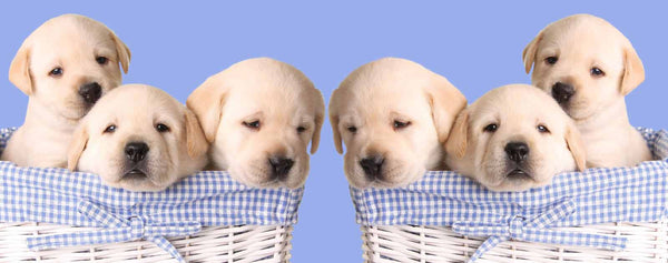 Puppies in Blue Baskets