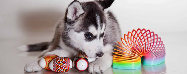 Dogs-Siberian Husky with Toys