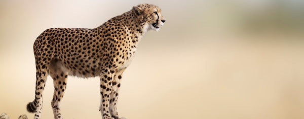 Wild Animals-Cheetah on Rock