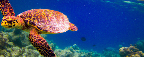 Ocean Animals-Hawksbill Swimming Turtle