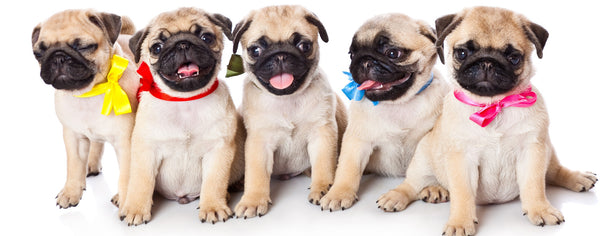 Dogs-Five Pug Puppies