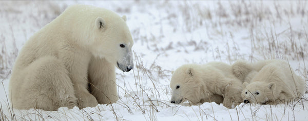 Polar Bear Mommy and Babies Play in the Snow