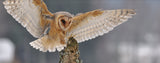 Birds-Barn Owl Landing