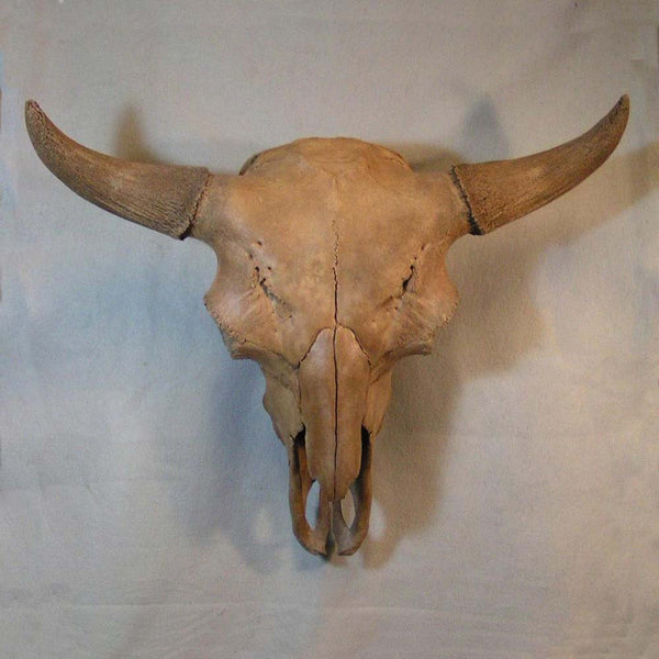 Prehistoric Pleistocene Bison Skull this beautiful specimen (bull)