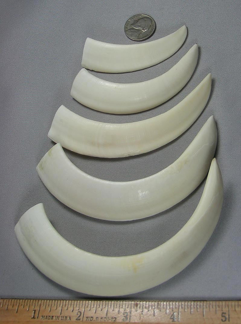 Wild Boar Tusks 4 Inch Minimum