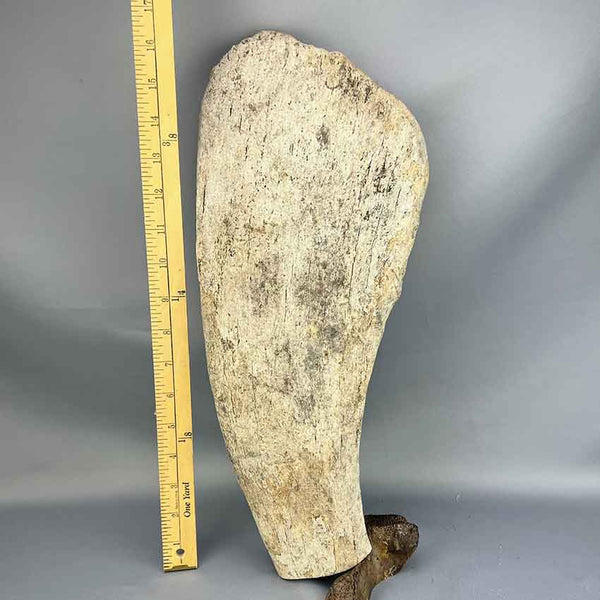 Extinct Steller's Sea Cow Rib Bone 03