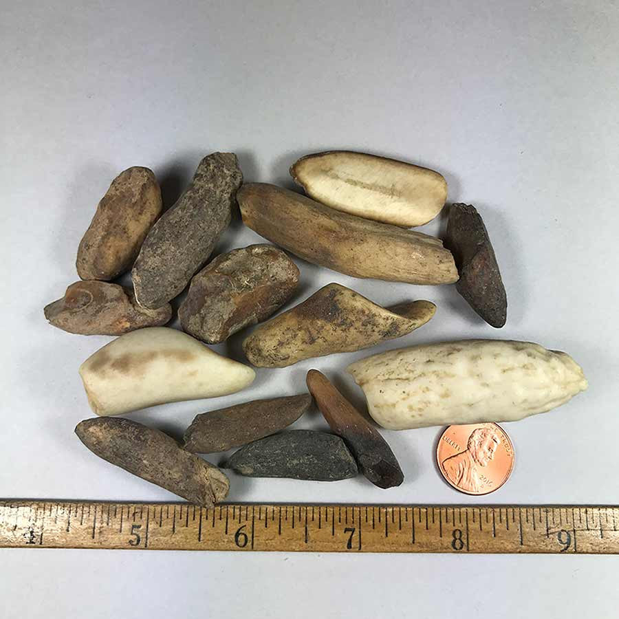 Fossil Walrus Ivory teeth