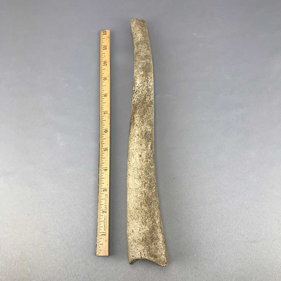 Walrus Oosik Penile Bone Section