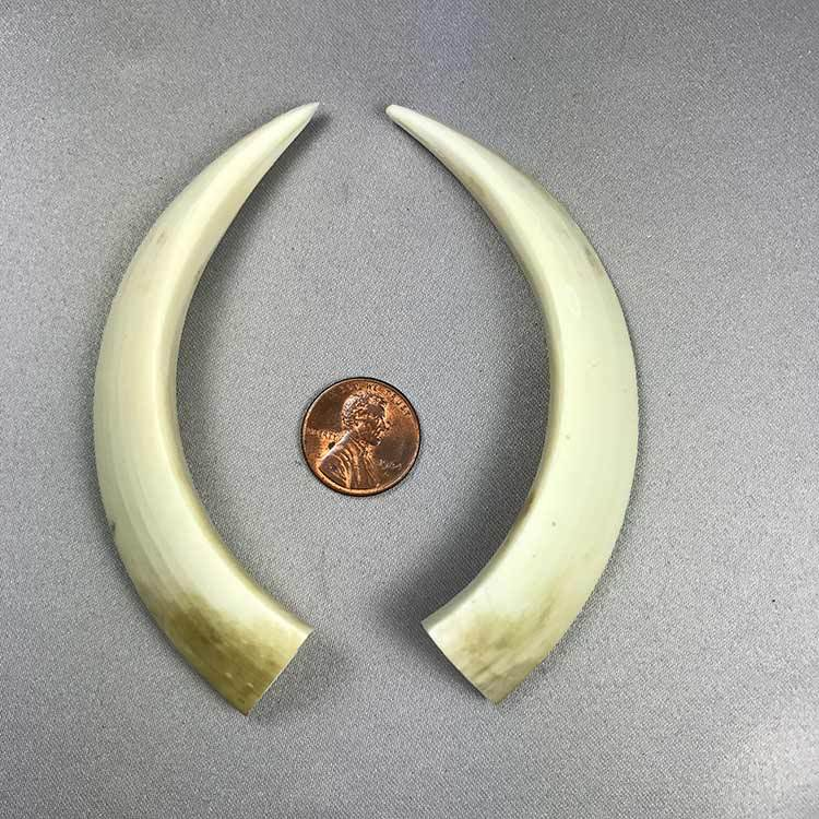 Wild Boar Tusks 4 1/2 Inch Minimum, Matched Pair Only