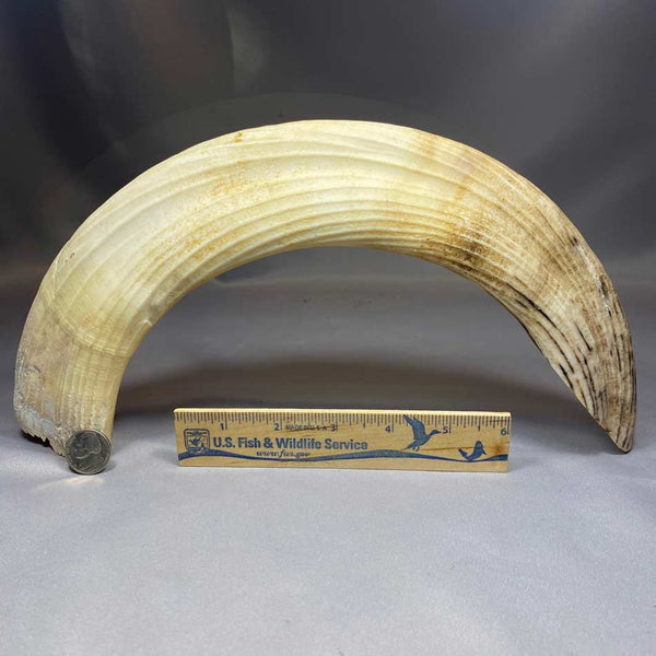 Hippo Tusk Lower Curved Canine