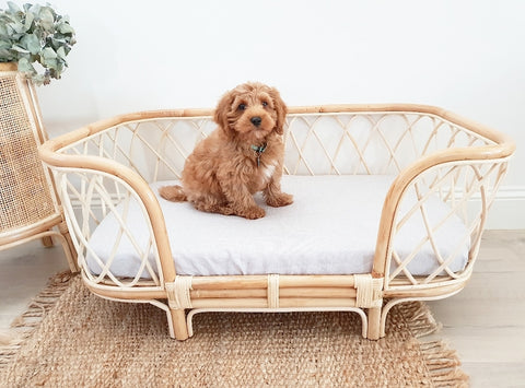 Cavoodle Puppy sitting in the Bella Rattan Dog Bed.