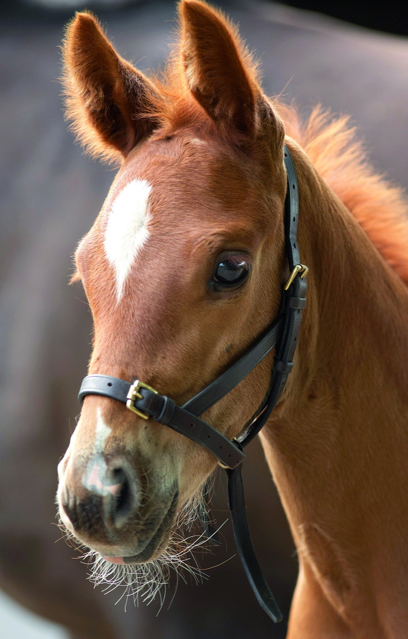 Blenheim Leather Foal Slip