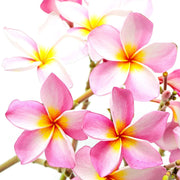 Hawaiian Frangipani Fragrance Oil