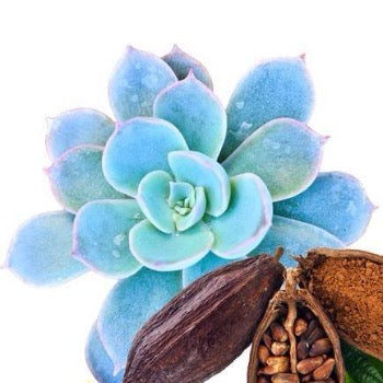 Blue Agave & Cacao Diffuser Oil Refills