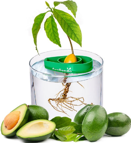 Avoseedo - Easiest Way To Grow Avocado Tree