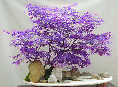 Purple Japanese Maple Bonsai Seeds