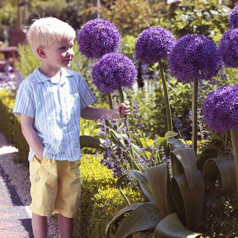 100 Purple Giant Allium Beautiful Flower Seeds