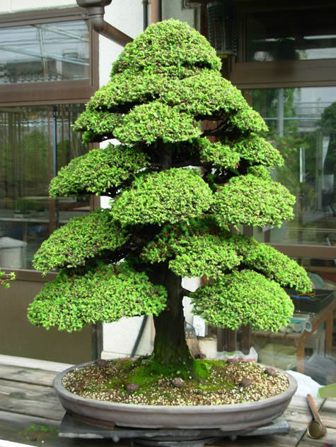 30 Cryptomeria Japonica Seeds - FRE SHIPPING