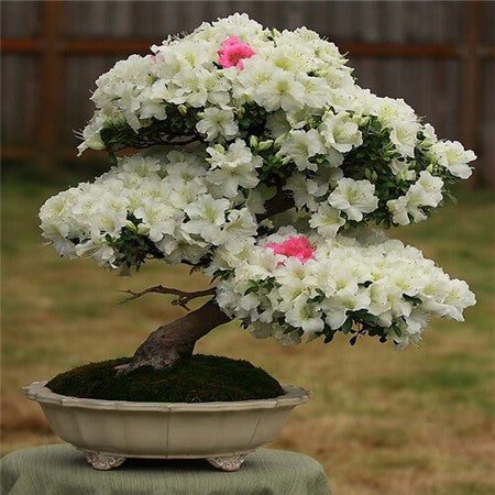 10 Azalea Perennial Flower Bonsai Seeds - FREE SHIPPING