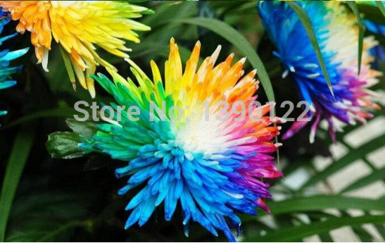 200 Rainbow Chrysanthemum Flower seeds - FREE SHIPPING