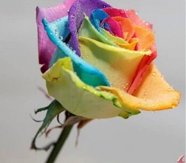 200 RARE RAINBOW ROSE FLOWER SEEDS - FREE SHIPPING