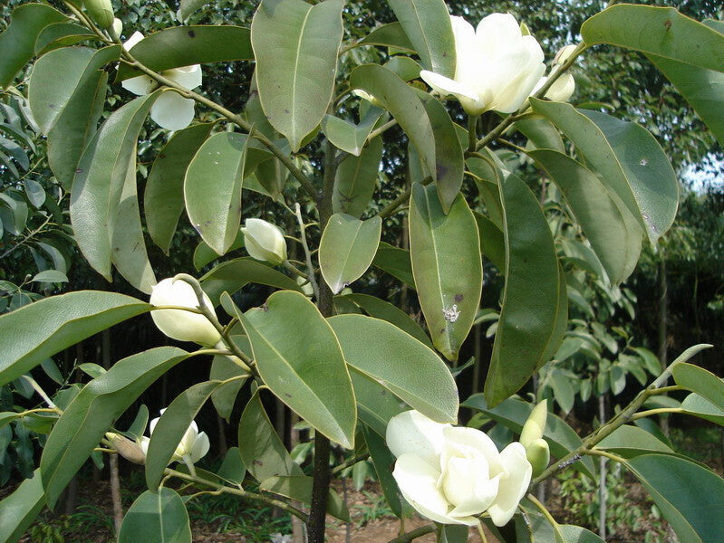 10 Aromatic Michelia Alba Flower Seeds
